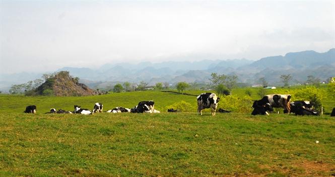 Bò sữa ở Mộc Châu